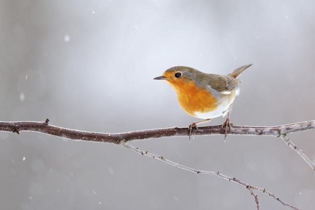 冬の小枝の上に座って胸にオレンジ色の羽を持つヨーロッパのロビン