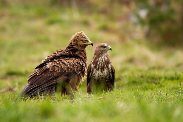 Малый пятнистый орел и обыкновенный канюк сидят на земле