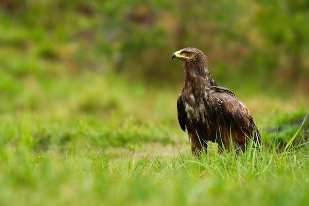 Мокрый малый пятнистый орел сидит на земле