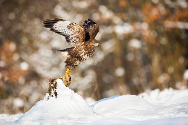 冬の自然の中で雪に覆われた木の切り株からノスリを取る