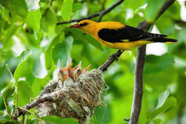 黄色と黒の羽の繁殖とユーラシア黄金オリオール