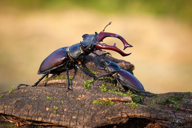 Мужской и женский жук-олень стоял вместе на стволе дерева летом