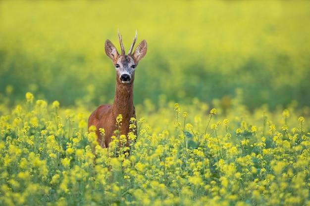 Самец оленя косули стоит на цветочном поле рапса с желтыми цветами летом
