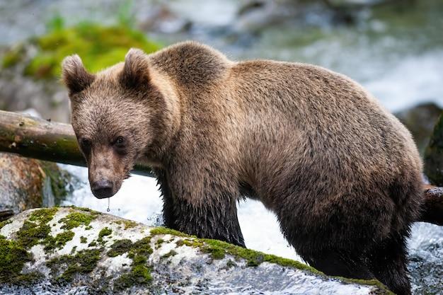 Величественный бурый медведь, стоящий на скале в реке.