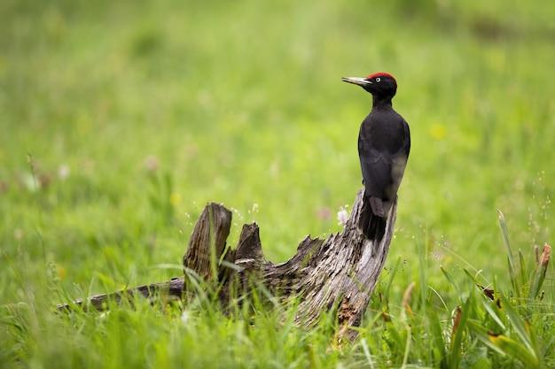 牧草地の真ん中に切り株の上に座って黒いキツツキ