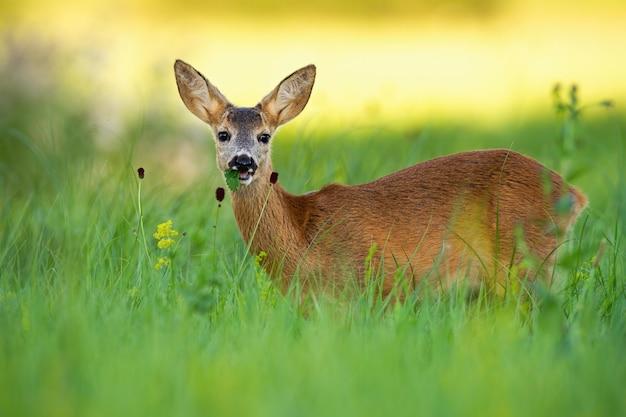 緑の草を食べてノロジカ子鹿
