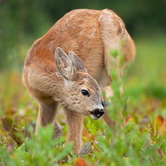 若いノロジカの子鹿は夏の草原で耳を掻きます。
