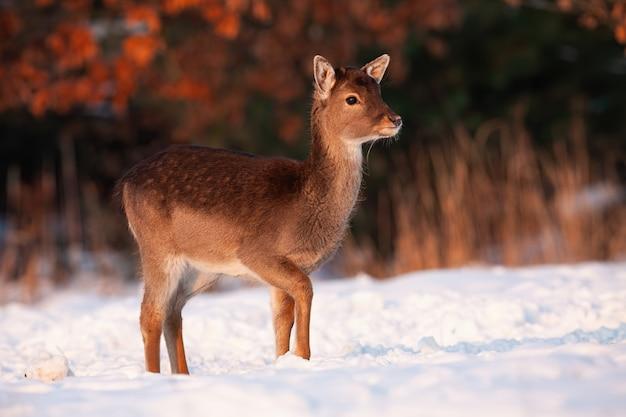 Лань олененок идет по снегу на лугу зимой