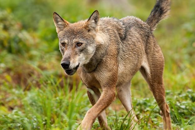 山で尾を上げて走り回っている灰色オオカミの詳細