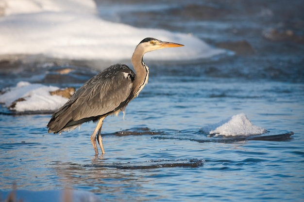Серая цапля стоит в холодной реке на рассвете зимой