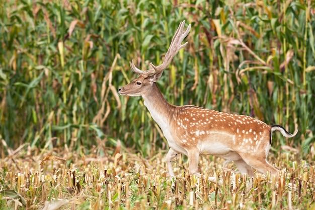 Лань оленя с растущими рогами прыгает через стерню кукурузного поля