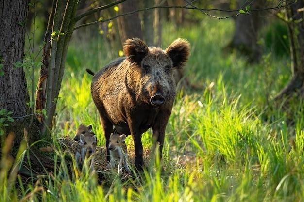 大人の母親と小さな子豚が近づいているかわいいイノシシ家族
