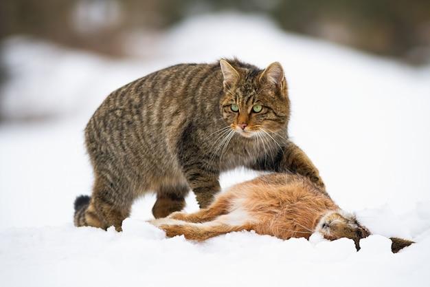 Европейская дикая кошка с убийством мертвого кролика на снегу