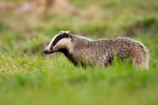 毛皮で覆われたヨーロッパのアナグマ、メレスメレス、夏に緑の牧草地を見下ろしています。側面図から短い草の上を歩く野生の哺乳類