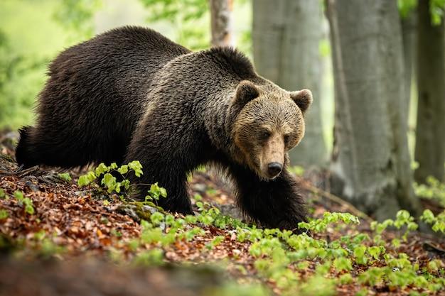 Массивный самец бурого медведя в поисках пищи в листве