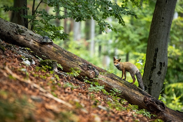 Красная лиса стоя на упаденном стволе дерева в лесе лета на горном склоне.