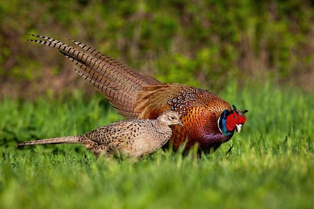 繁殖期のキジの雄鶏と雌鶏