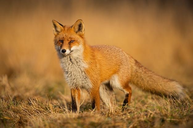 Взрослая лиса на дикой природе