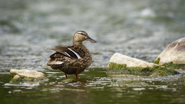 Курица кряквы смотря позади пока стоящ в реке в природе лета.