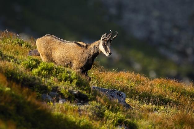 タトラシャモアを見下ろして、夏の山の牧草地の上を歩く