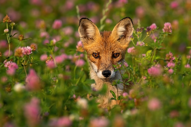 Портрет дикой лисы между розовыми цветами летом