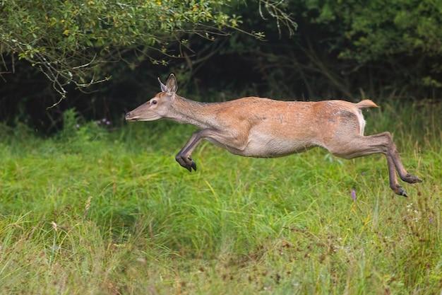 緑の草にジャンプするレッドディア