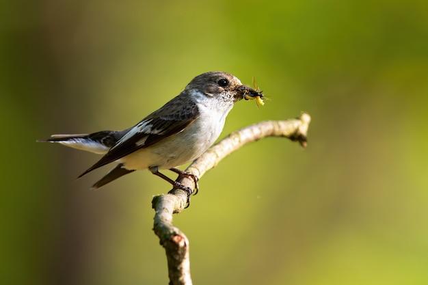 細い小枝で休んでいる間、昆虫を保持しているヨーロッパのハエヒタキ