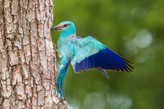 Европейский ролик, сидя на коре дерева с распростертыми крыльями в летнее время.