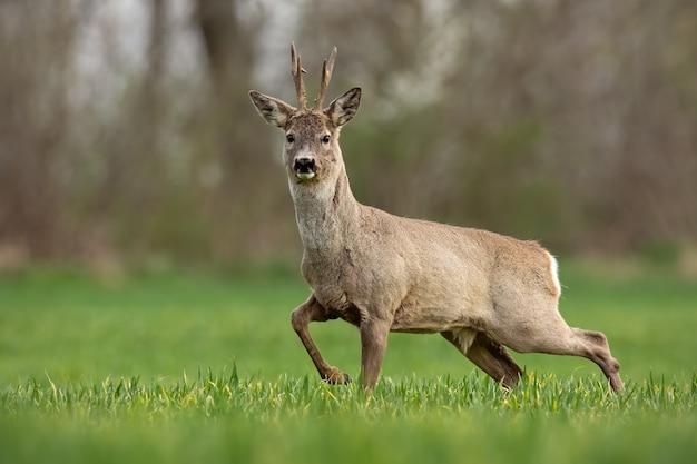 Косуля самец оленя весной гуляет по полю