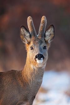 Портрет самца оленя косули в зимний период.