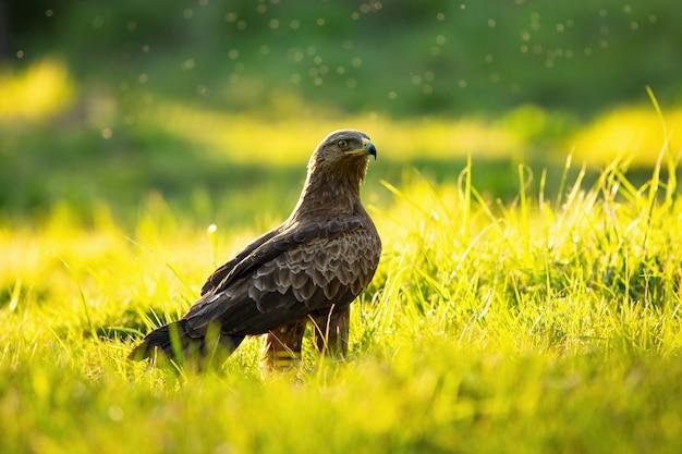 Малый пятнистый орел, сидящий на земле летом на закате