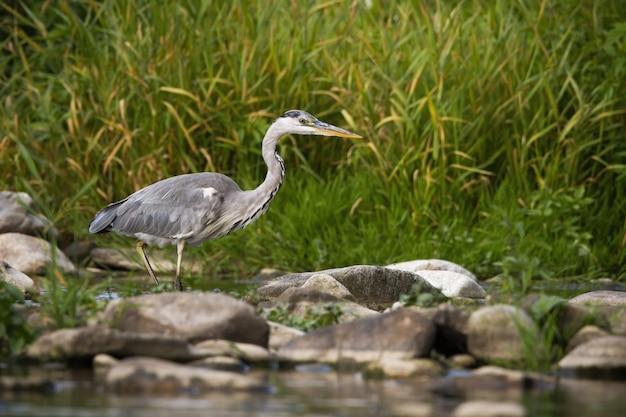 Концентрированная серая цапля пробирается по реке во время охоты на рассвете летом