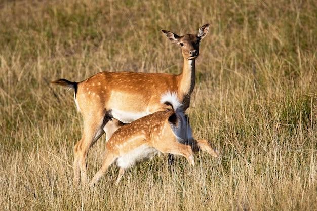 ダマジカは夏の自然の牧草地で子鹿を餌します。