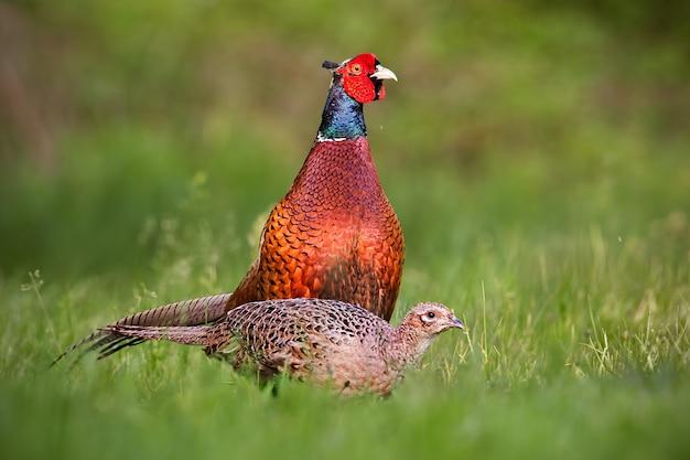 Пара общих фазанов, фазан фазаны весной.