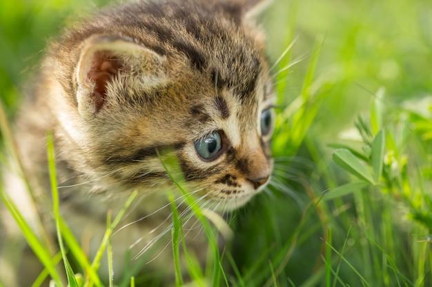 緑の芝生に小さなとら子猫