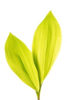 白で隔離される緑のユリの葉