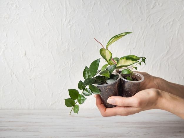鍋に保谷苗。屋内植物の育種。
