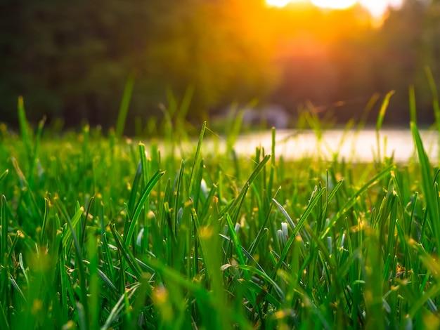 緑と太陽のある風景。トリムされた緑の草の背景。閉じる。