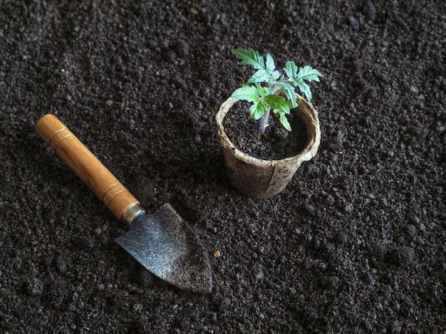 トマトの苗を地面に植えます。