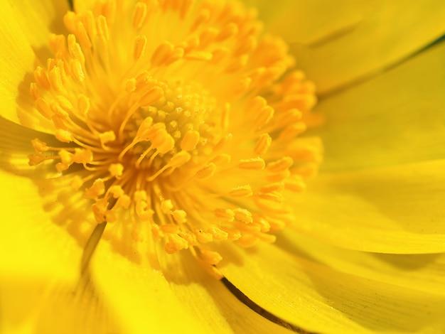 マクロ撮影の黄色い花。春の花。春の太陽の最初のサクラソウ。