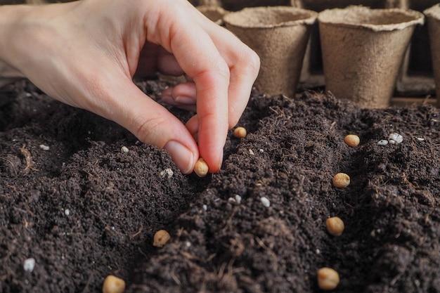 地面の春にヒヨコマメの種を植えます。