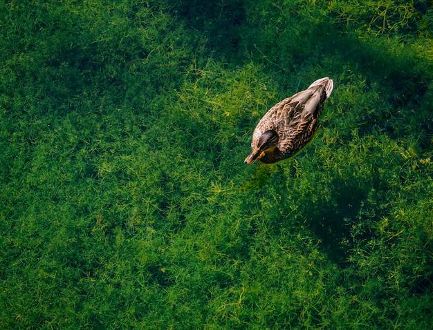 Утка плавает в чистой воде