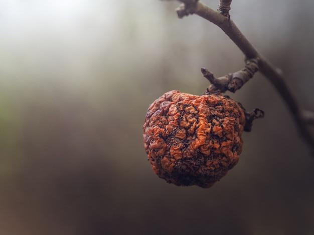 Старое яблоко на ветке в конце осени.