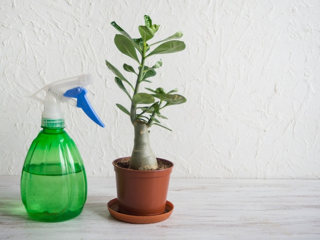 テーブルの上の噴霧器と鉢植えの植物アデニウム。屋内植物の育種。