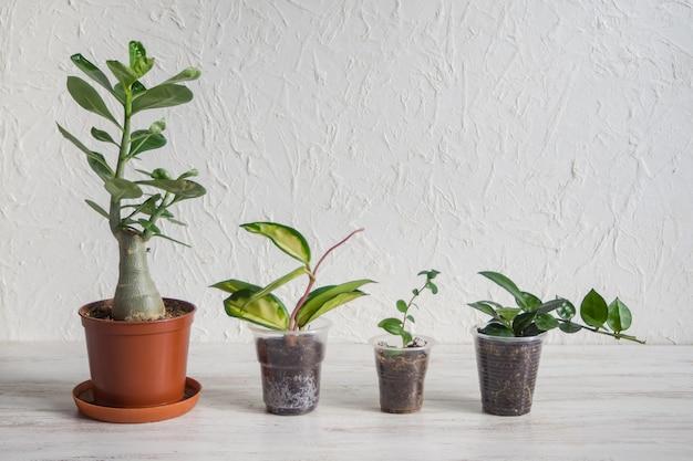 テーブルの上の鍋にアデニウム、ホヤ、ミルシナの苗。屋内植物の育種。