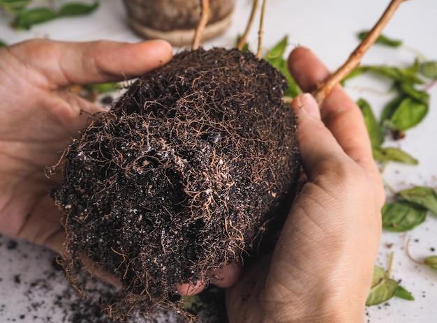 Болезни растений. вялые листья, гниение корневой системы. фуксия.