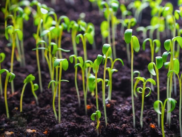 種子の苗。泥炭ポットの植物、トマト、ピーマンの苗。