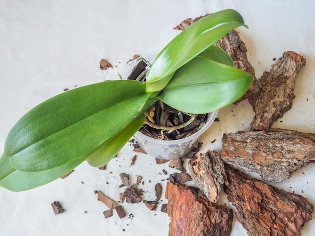 移植植物。蘭を移植します。ホームガーデニング、蘭の育種。