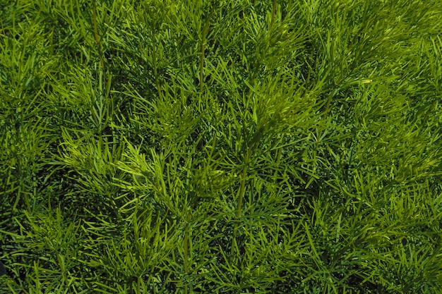 緑の植物の自然な背景。庭や公園の美化のための観賞用植物。
