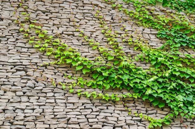 Стена с зелеными листьями дикого винограда. природа фон